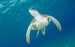Green Sea Turtle (Chelonia mydas). Image credit: Kris-Mikael Krister