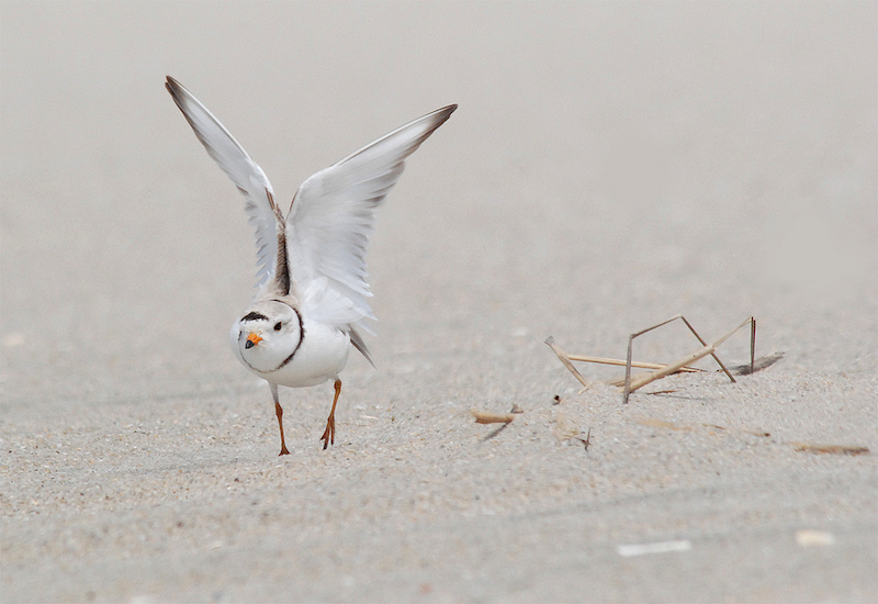 Piping plover. Image credit: Billtacular