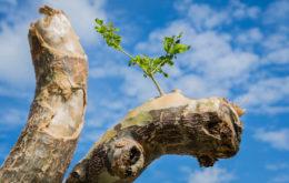 Gaiac tree, St. Maarten. Image credit: Mark Yokoyama.