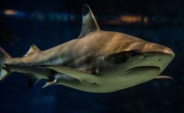 Black tip reef shark. Image credit: Faris Algosaibi
