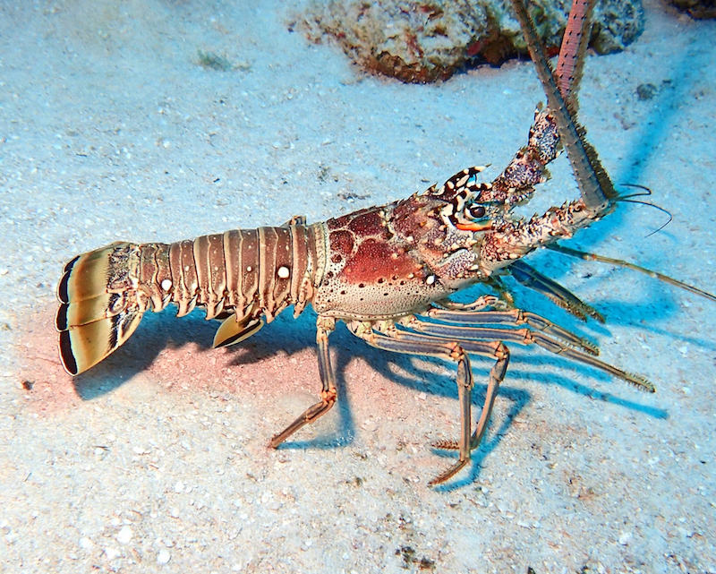 Caribbean spiny lobster. Image credit: Adam