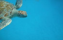 Hawksbill turtle, Barbados. Image credit: Meg Stewart.