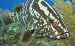 Nassau Grouper. Image credit: Stephanie Archer, Oregon State University