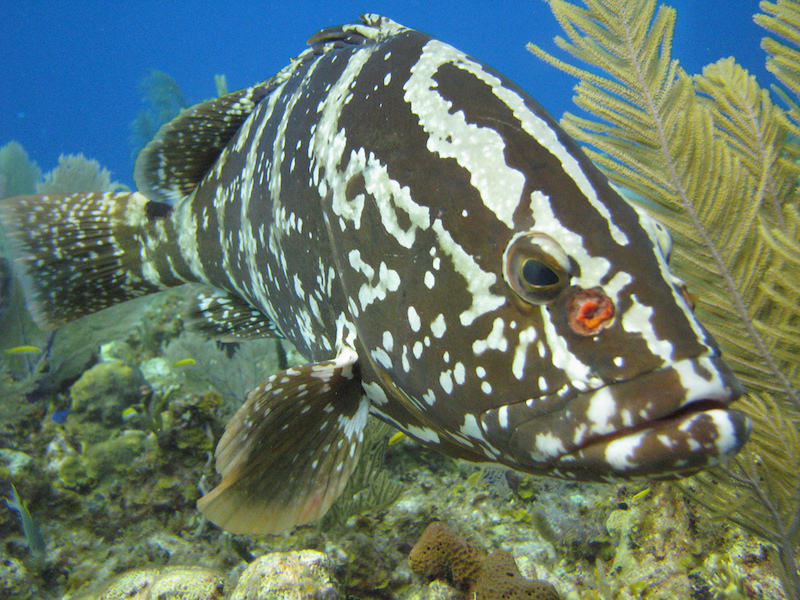 Nassau Grouper. Image credit: Stephanie Archer, Oregon State University
