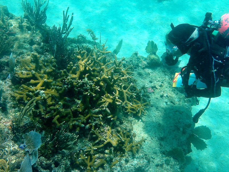 Coral reef restoration. Image via: FWC Fish and Wildlife Research Institute
