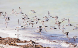 Migratory shorebirds like Ruddy Turnstones and Sanderlings rely on Caribbean beaches and wetlands for a safe haven during migration and overwintering.. Image credit: Max Schwenne.