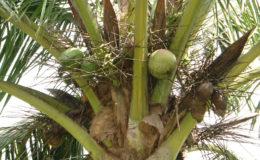 Coconut tree. Image credit: Helen Garfield