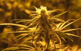 Marijuana plant. Image credit: Bob Doran