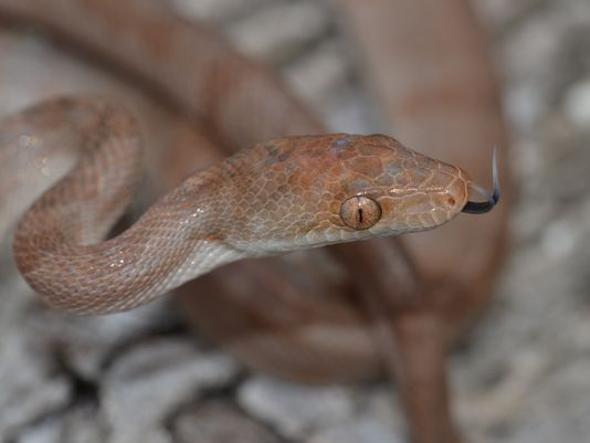 Crooked-Acklins boa, Chilabothrus schwartzi. Image courtesy of UNC Asheville via Citizen Times