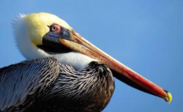 Brown Pelican. Image: Spike Stapert via BirdsCaribbean.