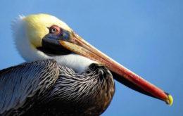 Brown Pelican. Image: Spike Stapert via BirdsCaribbean.