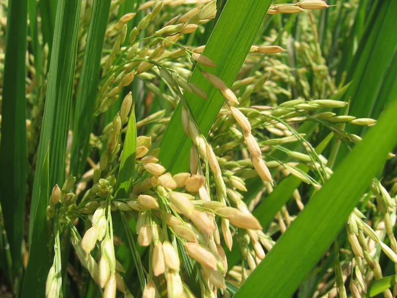 Rice plant. Image credit: Washed Over