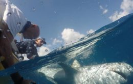 Nature Foundation staff tags a shark in St. Maarten's waters. Image: St. Maarten Nature Foundation.