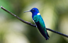 White-necked Jacobin. Image: Dave Curtis