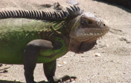 Lesser Antillean Iguana. Image: Ashley Coates