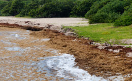 Sargassum on a beach in the Caribbean. Image: Mark Yokoyama