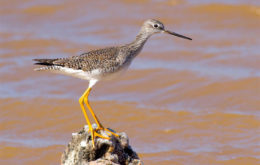Greater Yellowlegs, one of 17 migratory shorebirds recorded in large numbers on the salt ponds. (photo by Jeff Gerbracht)