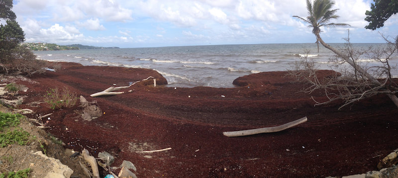 Sargassum on a beach in Tobago. Image: rjsinenomine