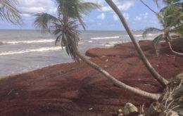 Sargassum on a Tobago beach. Image: rjsinenomine