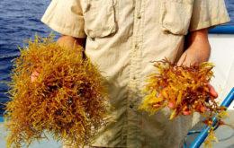 Sargassum, two species. Image: rjsinenomine.