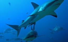 Caribbean reef sharks. Image: Alfonso González