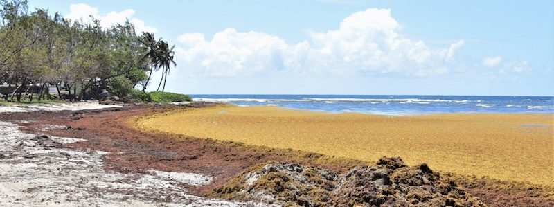 Sargassum on a beach in Barbados. Image: via Barbados Government Information Service