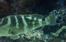 Nassau Grouper. Image: Farshid Ahrestani.