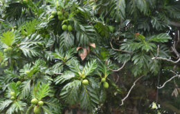 Breadfruit Tree. Image: Monica.