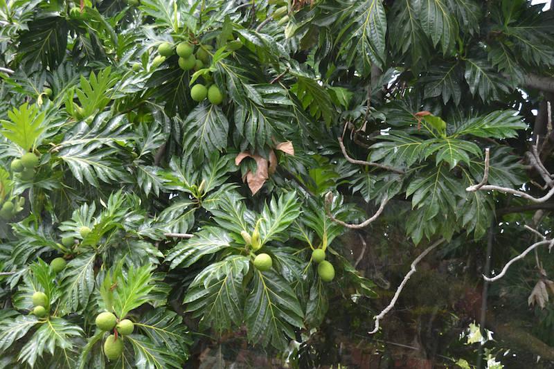 Breadfruit Tree. Image: Monica.