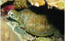 Green turtle, Bonaire. Image: Dan Hershman.