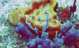 Coral, Dominican Republic. Image: Carson