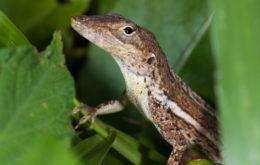 Caribbean reptile. Image: Mark Yokoyama