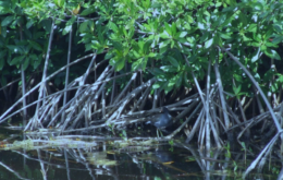 Grand Cayman mangroves. Image via Cayman Islands Department of Environment