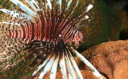 Lionfish. Image: Laszlo Ilyes