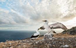 Masked Booby on Redonda. Image: Ed Marshall via Antigua and Barbuda Department of Environment
