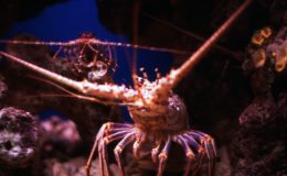 Bahamas spiny lobster. Image: Rüdiger Stehn