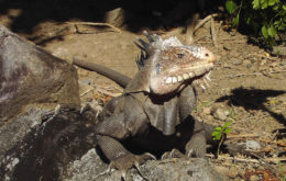 Lesser Antillean Iguana (Iguana delicatissima). Image: © Hans Hillewaert