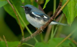 Birds like the Black-throated Blue Warbler travel thousands of miles to spend their winter in the Caribbean. Photo: Paul Reeves via BirdsCaribbean