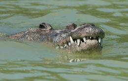 American crocodile. Image: Sergey Yeliseev.