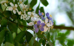 Guaiacum officinale, an endangered Caribbean plant. Image: via Wikipedia