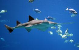 Largetooth sawfish. Image: Forrest Samuels