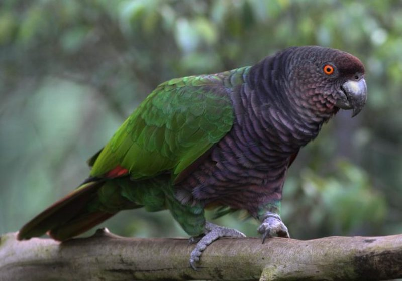Imperial Amazon parrot, Dominica. Image: via earth.com