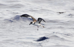 Black-capped petrel. Image: Don Faulkner