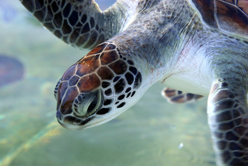 Green Turtle, Cayman Islands. Image: Pete.