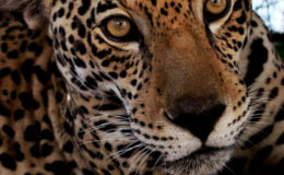 Jaguar in Guyana. Image: Rustom Seegopaul.