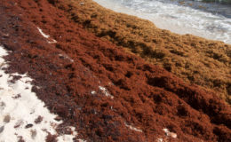 Sargassum on a Caribbean beach. Image: Mark Yokoyama