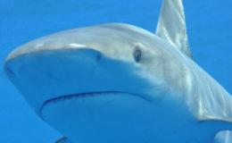 Shark, the Bahamas. Image: Mark Yokoyama