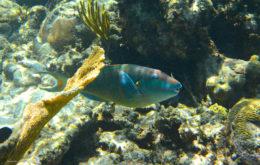 Parrotfish. Image: Acquarius Sea Tours